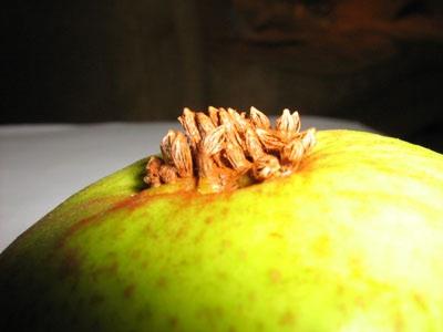 pear-rust-2-4000piximg_0420.jpg