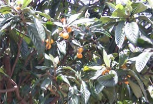 Loquat fruiting in London