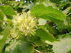 Turkish hazel nut
