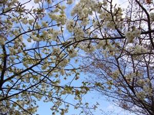 Tai Haku cherry