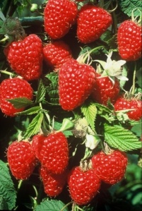 Joan Squire raspberry