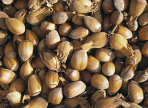Kentish cobnut