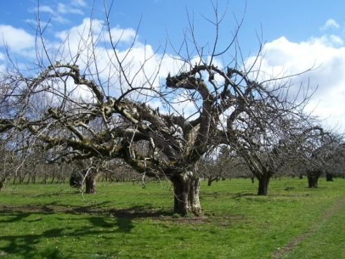 Bramley orchard in Wisbech