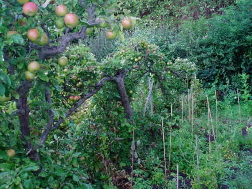 Espalier from the 1940s in a St Ann's Allotment