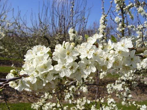 Plum blossom - Zimmers Frühzwetsche