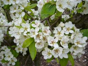 Pear Blossom of Belle Julie