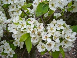 Pear Blossom of Belle Julie