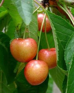 Mystery cherry