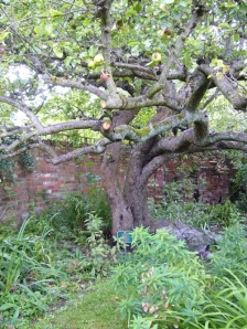 Original Bramley's Seedling apple tree