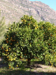Orange trees growing in South Africa