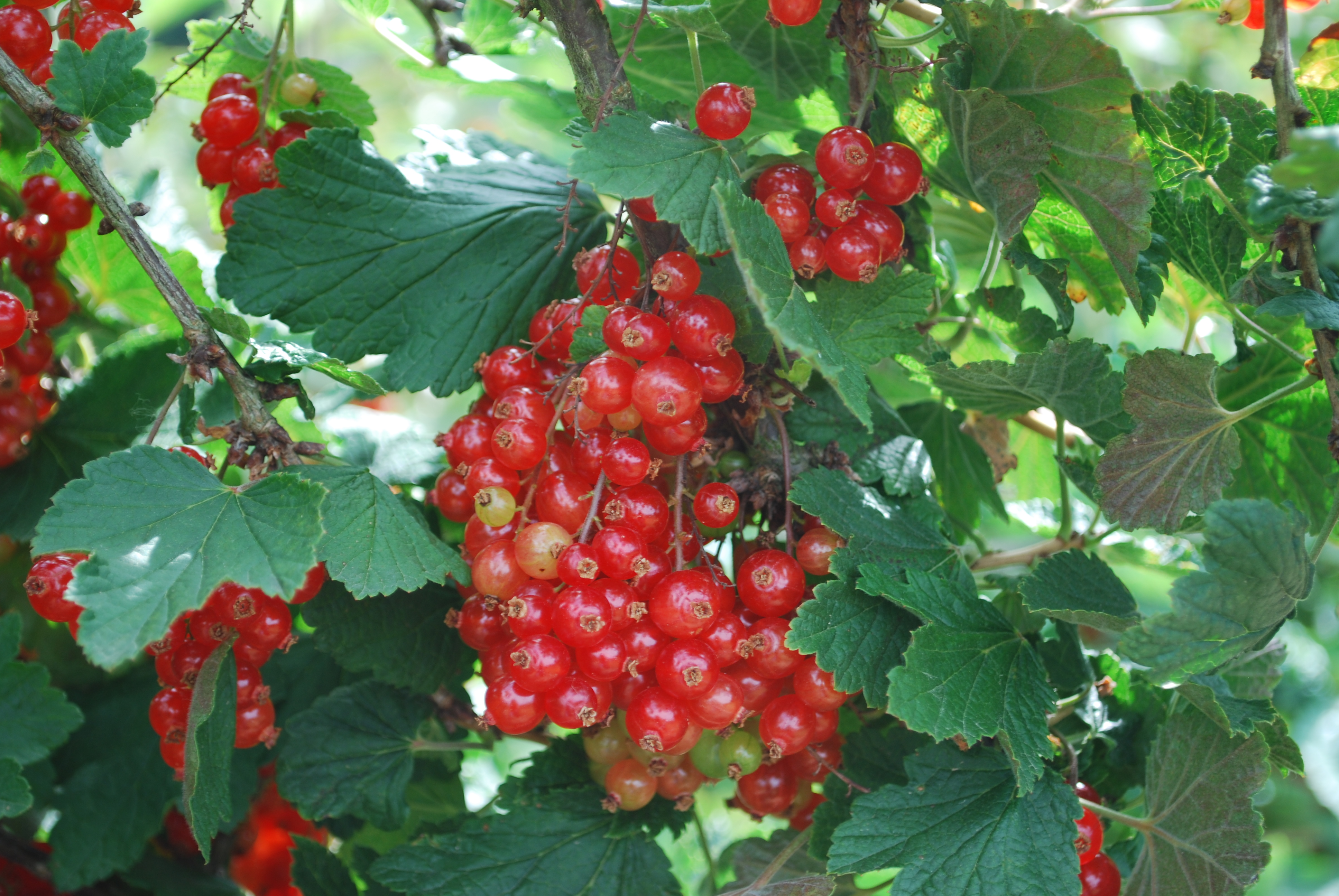 White Pink Red Currants Which Do I Have Fruit Forum