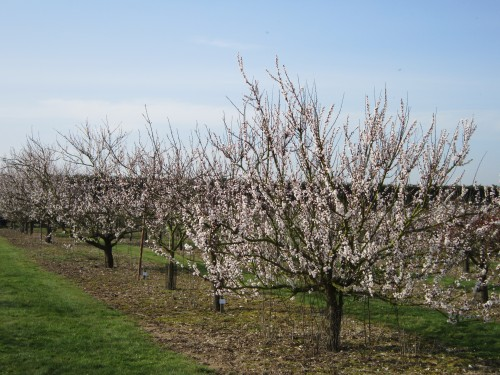 Apricot Collectioin at National Fruit Collection, Brogdale, Kent