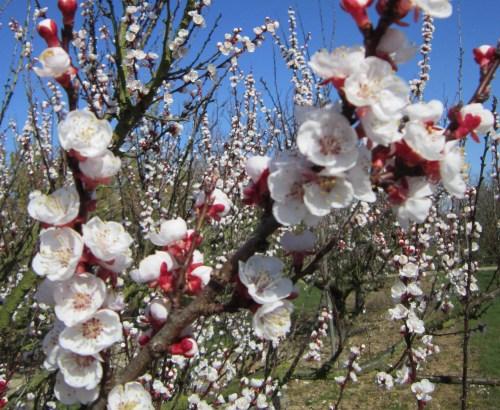 Apricot Farmingdale