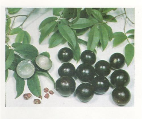 Fruit from the Jaboticaba (Myrciaria cauliflora)