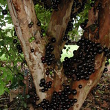 Jaboticaba fruit growing on the main branches of the tree the trunk of the tree