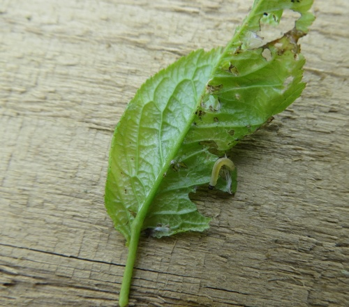 Caterpillar on Japanese plum leaf  - what is it?