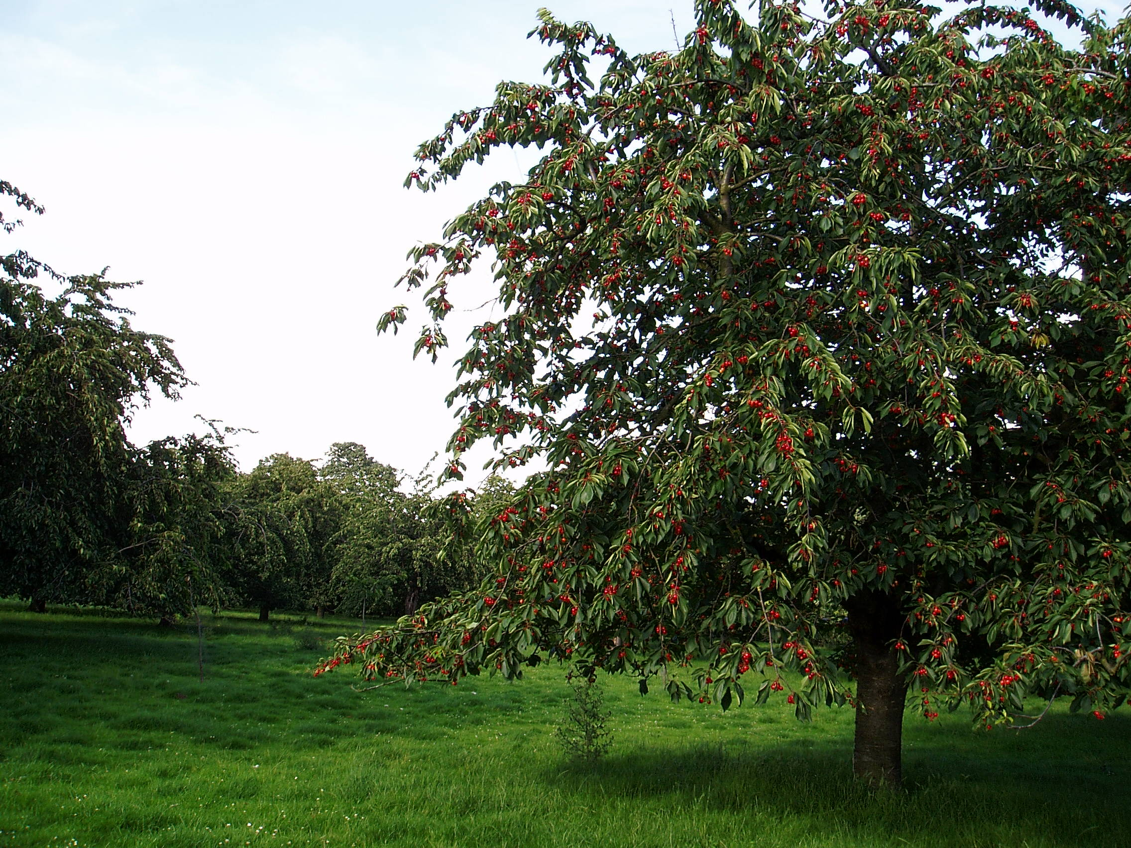 Traditional Standard Cherry Trees
