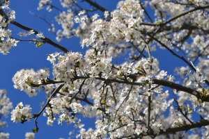 blossom 003