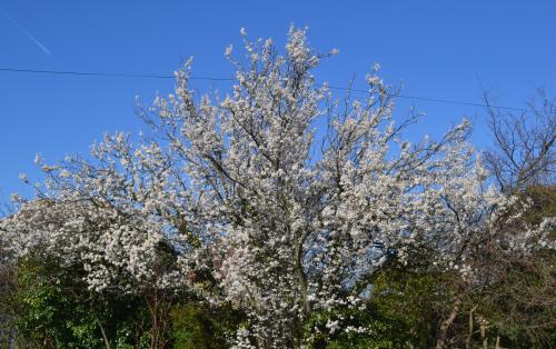Myrobalan, cherry plum