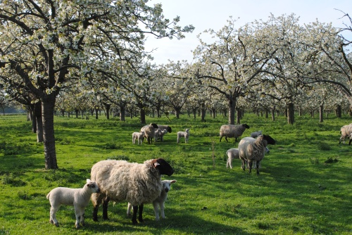 Traditional Kent Cherry Orchard