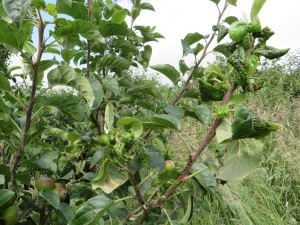 Rosy apple aphid infected shoot: mid-summer 2014