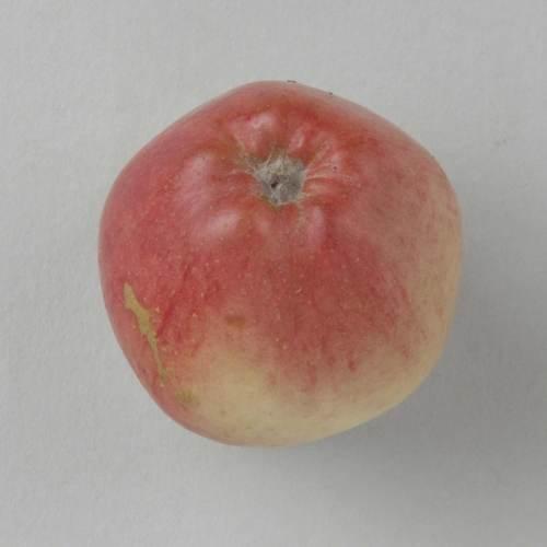 Ames apple