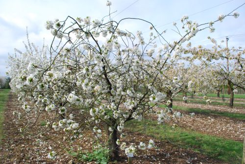 Dutch Morello cherry in blossom