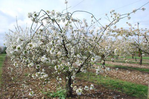 Dutch Morello cherry in blossom
