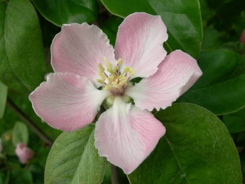 Quince blossom of variety Borgeant