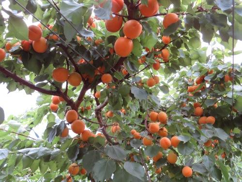 Tomcot apricot