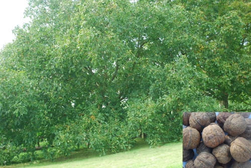 Walnut trees cropping heavily in Kent; inset Broadview walnuts