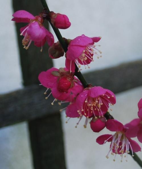 Prunus mume Benichidori