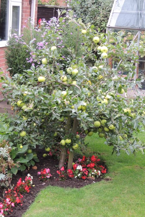 Limelight apple growing on M27 roostock