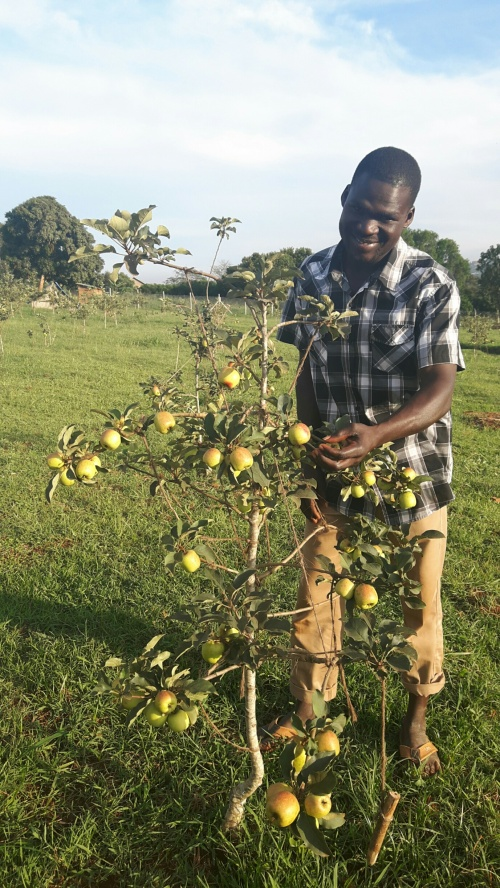 Apple trees growng in Kampala (see comment by Kevin Hauser below).