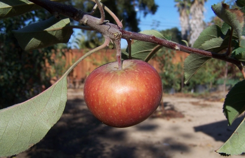 Fuji apple growing in southern California; recommended by Kevin Hauser for growing in a warm climate